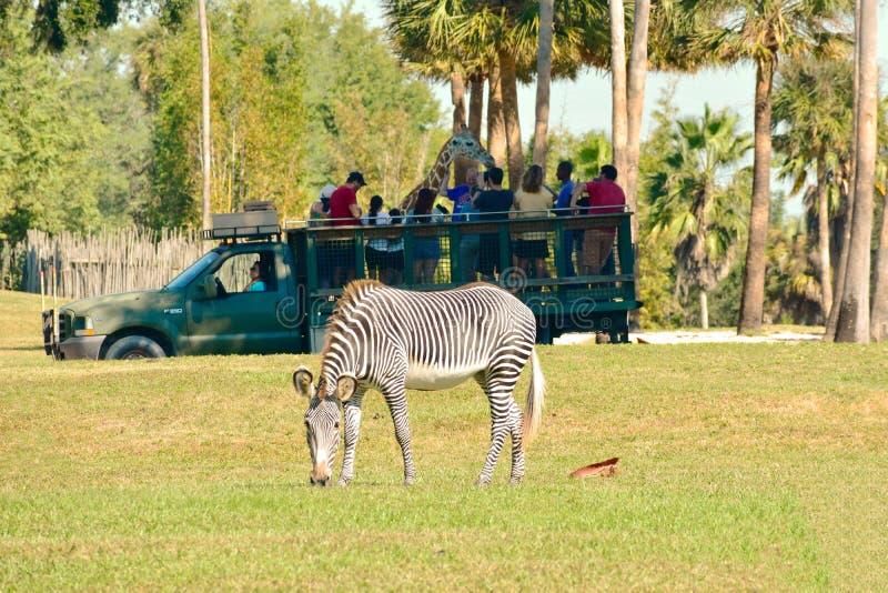 人在塞伦盖蒂徒步旅行队的演奏长颈鹿 在前景我们在布什庭院看见一匹好的斑马 免版税库存图片