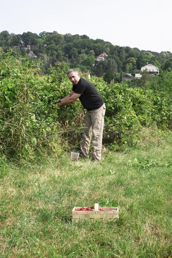 人在庭院里拾起水多的红浆果 免版税库存图片