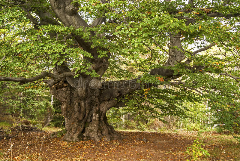 令人尊敬的山毛榉树 免版税图库摄影