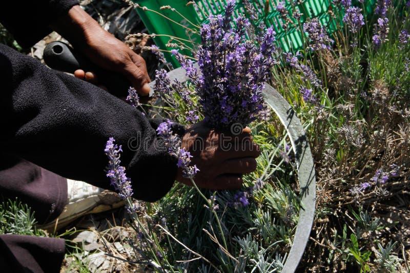 人工收割的淡紫色 免版税库存图片