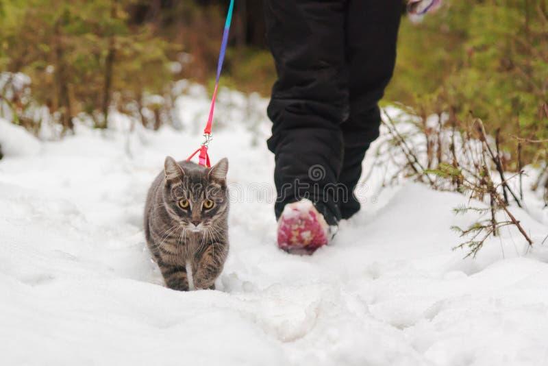 人带领在皮带的一只猫 库存图片