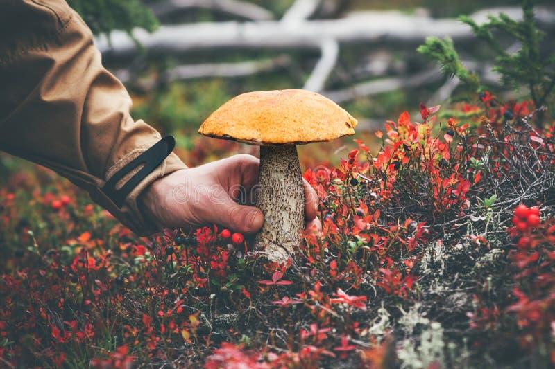 人手采摘蘑菇橙色盖帽牛肝菌蕈类 免版税库存图片