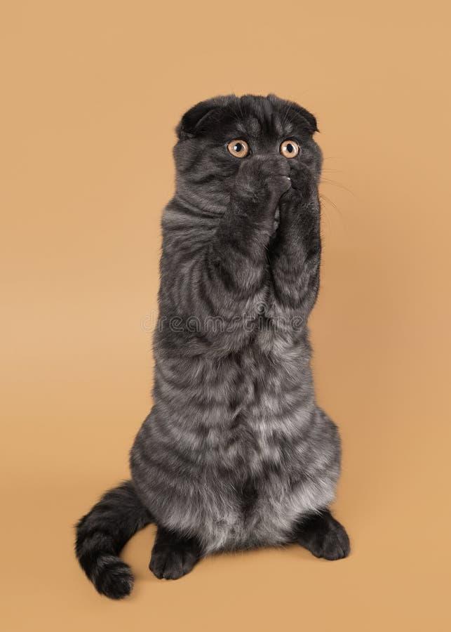 黑人抽烟苏格兰人折叠在浅褐色的背景的小猫 图库摄影