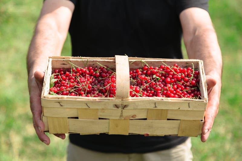 人拿着一个柳条筐用水多的红浆果 免版税库存图片
