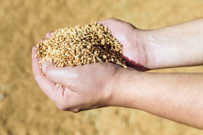 人拿着成熟麦子的` s手 免版税库存照片