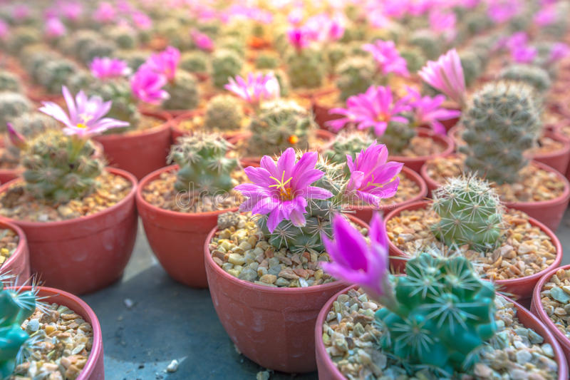Download 仙人掌农场在泰国选择聚焦 库存照片. 图片 包括有 花卉, 庭院, 危险, bossies, 工厂, 有选择性 - 59112182