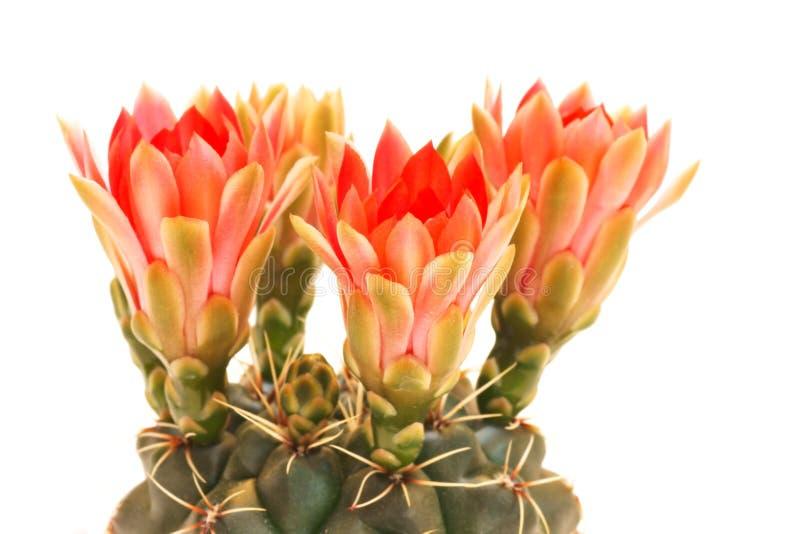 仙人掌和红色花,在白色背景 免版税库存图片