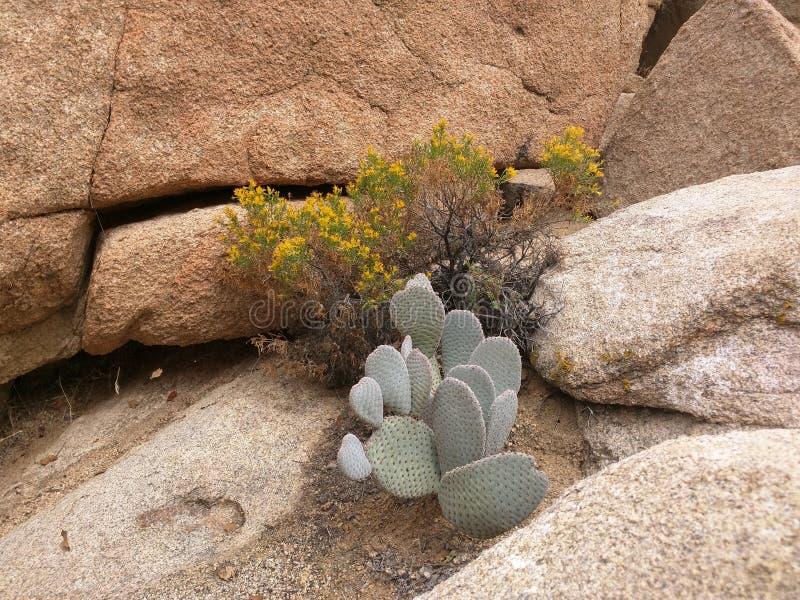 仙人掌和花在岩石空隙 库存照片