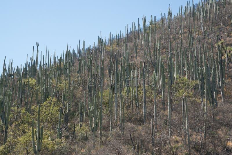 仙人掌在墨西哥,瓦哈卡 库存照片