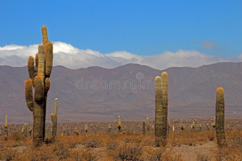 仙人掌森林, Cardones国家公园, Cachi,阿根廷 免版税库存图片