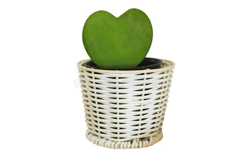 仙人掌植物的心脏形式罐的 库存图片