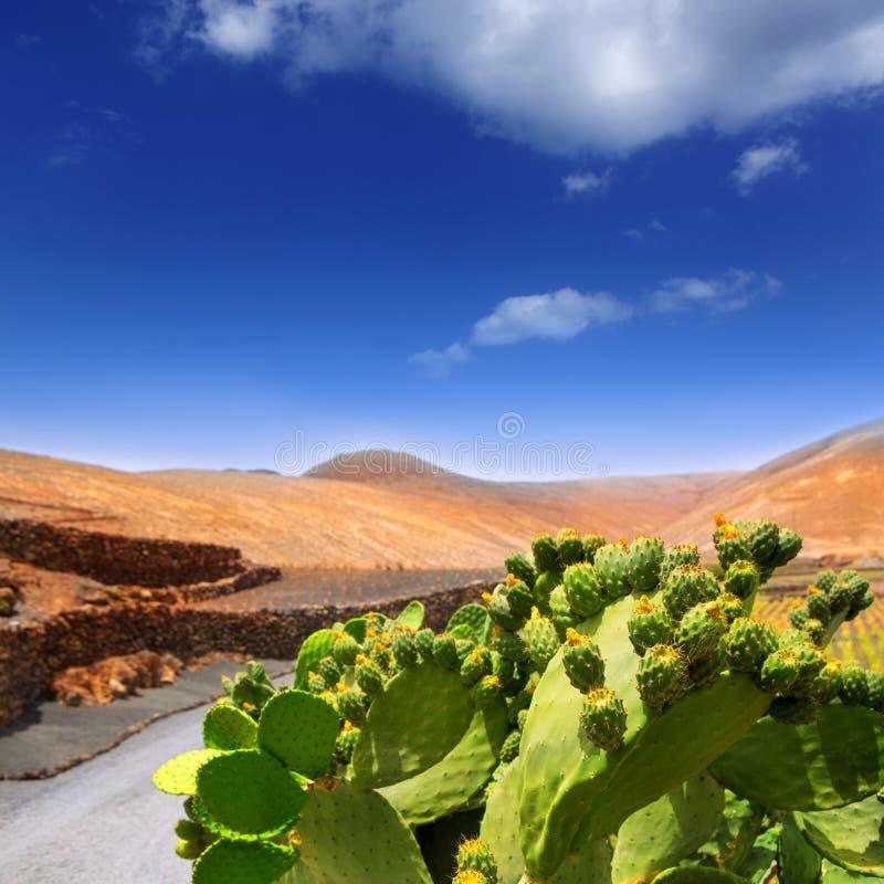 仙人掌胭脂仙人掌在有山的兰萨罗特岛Orzola 免版税库存照片
