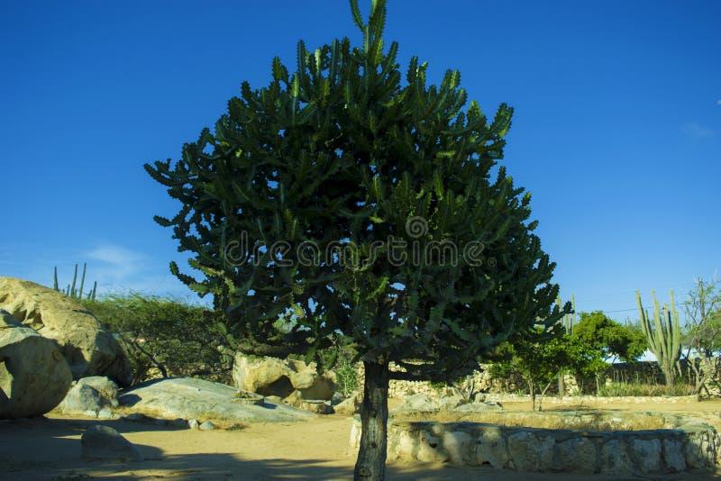 仙人掌,仙人掌树在阿鲁巴 免版税库存图片