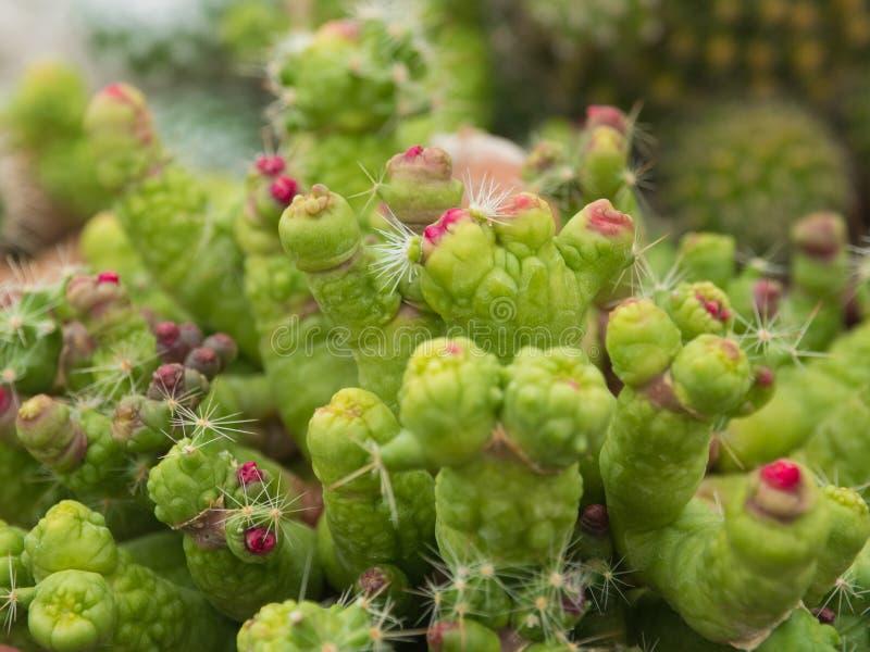 仙人掌(Mammillaria) 库存图片