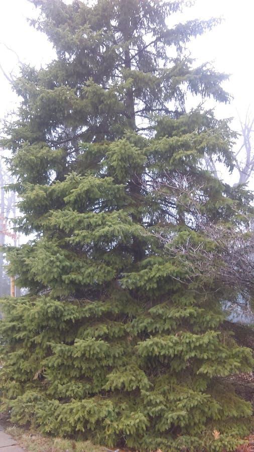 令人敬畏的杉树很美丽和 库存图片