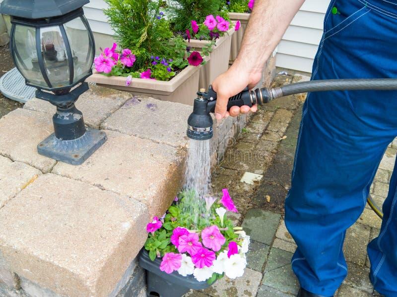 人浇灌的盆的春天喇叭花 免版税库存照片