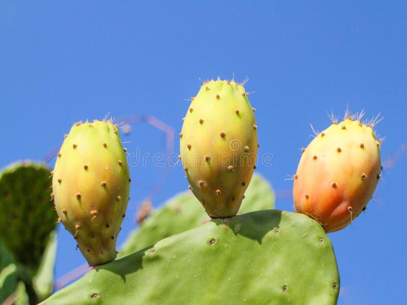 仙人球,胭脂仙人掌,仙人掌梨, Babutsa 免版税库存图片