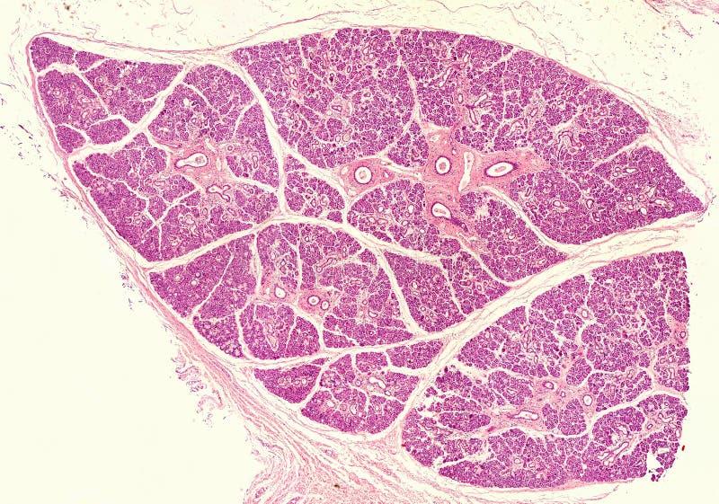 人的下颌下腺 图库摄影
