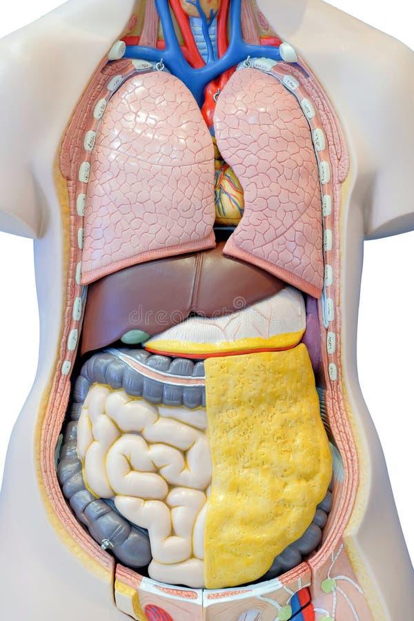 人的内脏的解剖学模型 免版税库存图片