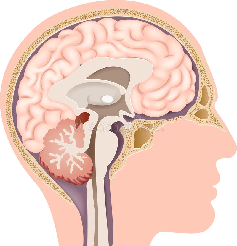 人的内部脑子解剖学的动画片例证 向量例证