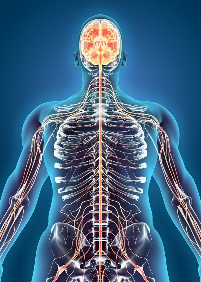 人的内部系统-神经系统 库存例证