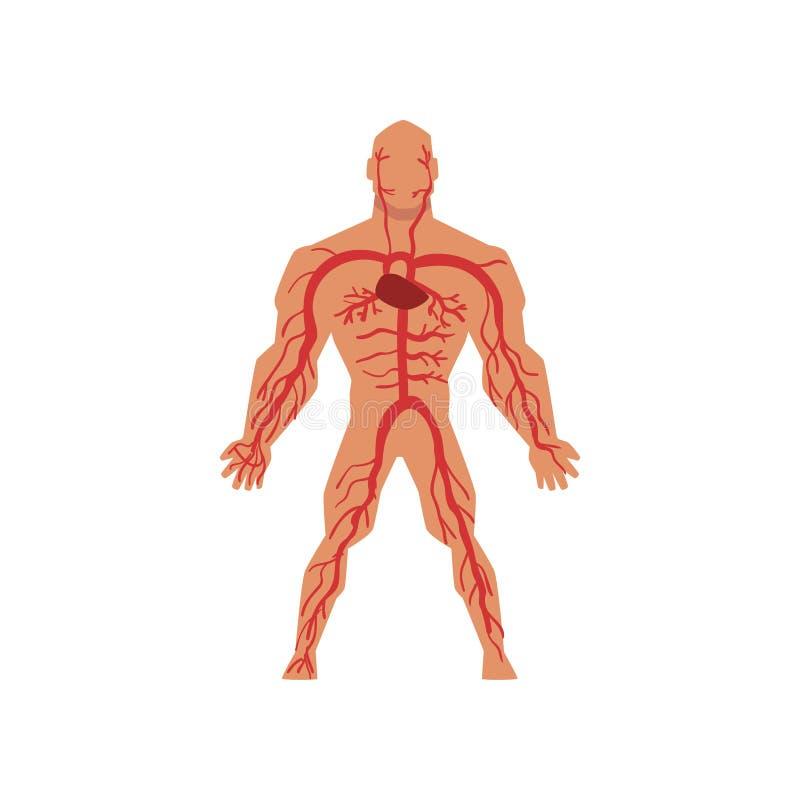 人的动脉循环系统,人体在白色背景的传染媒介例证解剖学  向量例证