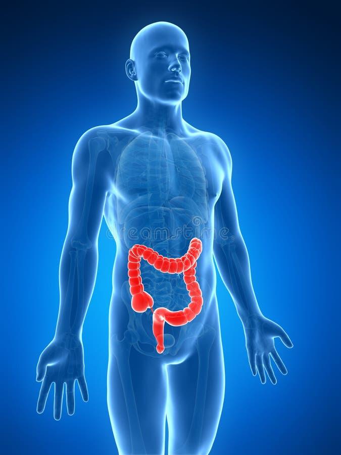 人的大肠 向量例证