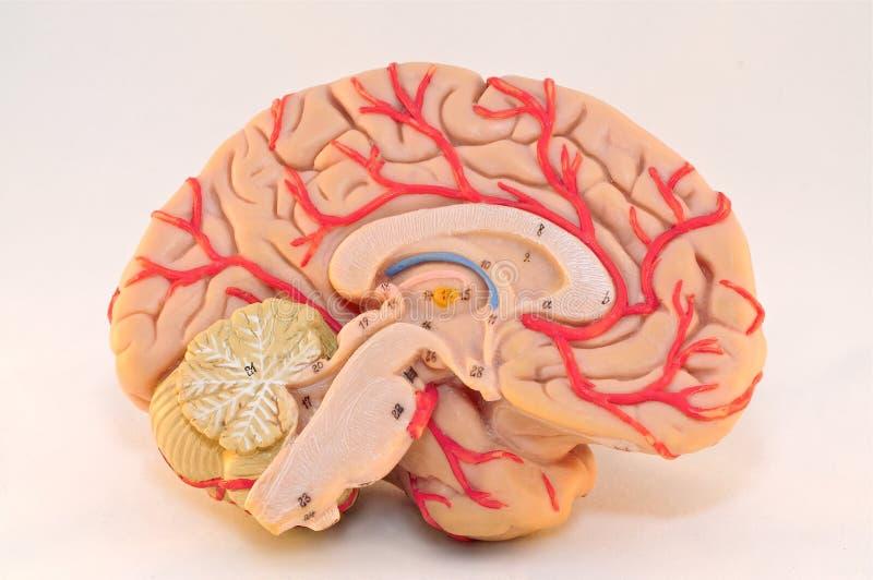 人的大脑半球解剖学模型(中间看法) 免版税库存照片