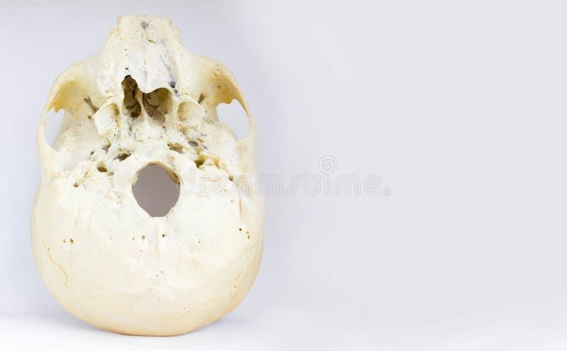 人的头骨的基地底视图显示上颚骨和后头孔解剖学的在被隔绝的白色背景 库存图片