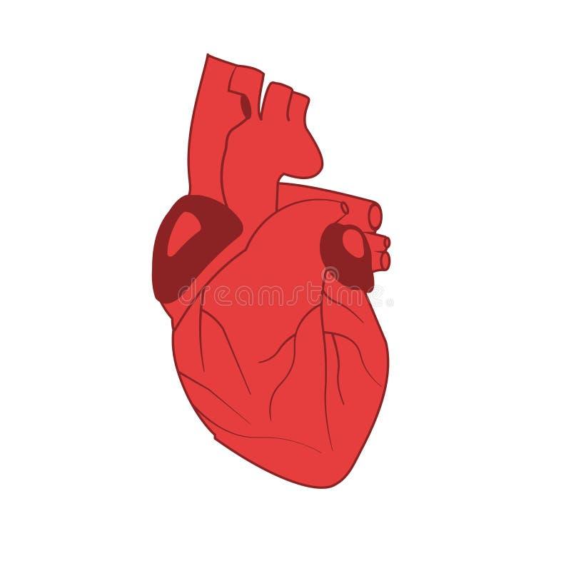 人的心脏的传染媒介图象在红色的在白色背景 免版税库存照片