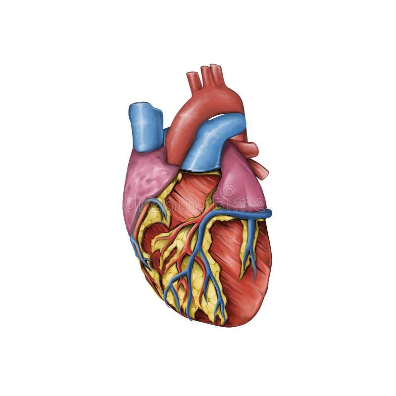 人的心脏的解剖学 库存例证