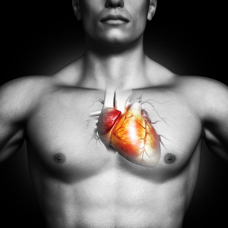 人的心脏解剖学例证 免版税图库摄影
