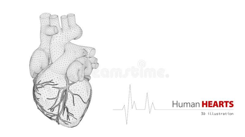 人的心脏解剖学在白色背景的 皇族释放例证