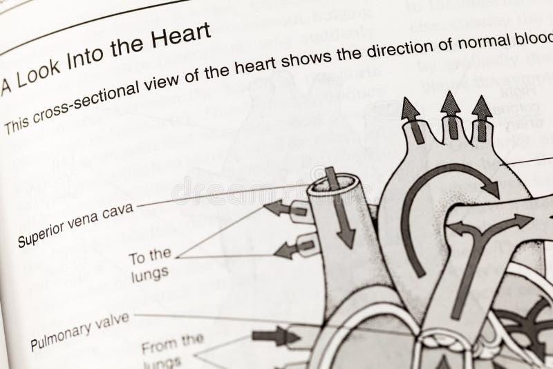 人的心脏解剖学循环定义 免版税库存图片