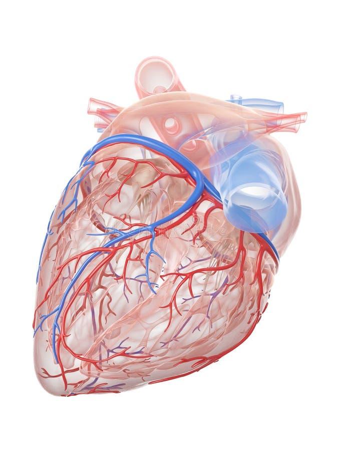 人的心脏解剖学 库存例证