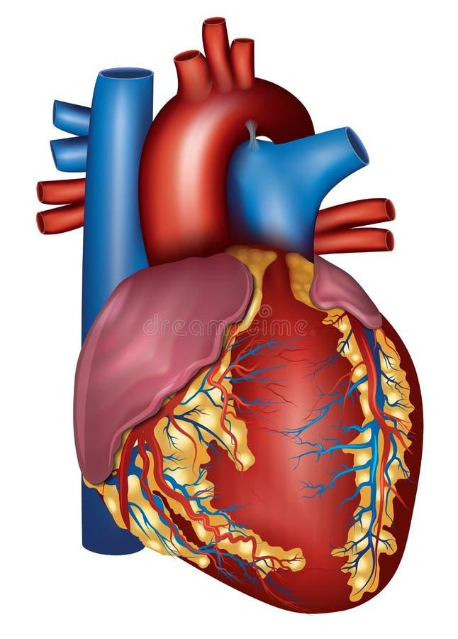 人的心脏详细的解剖学,五颜六色的设计 库存例证