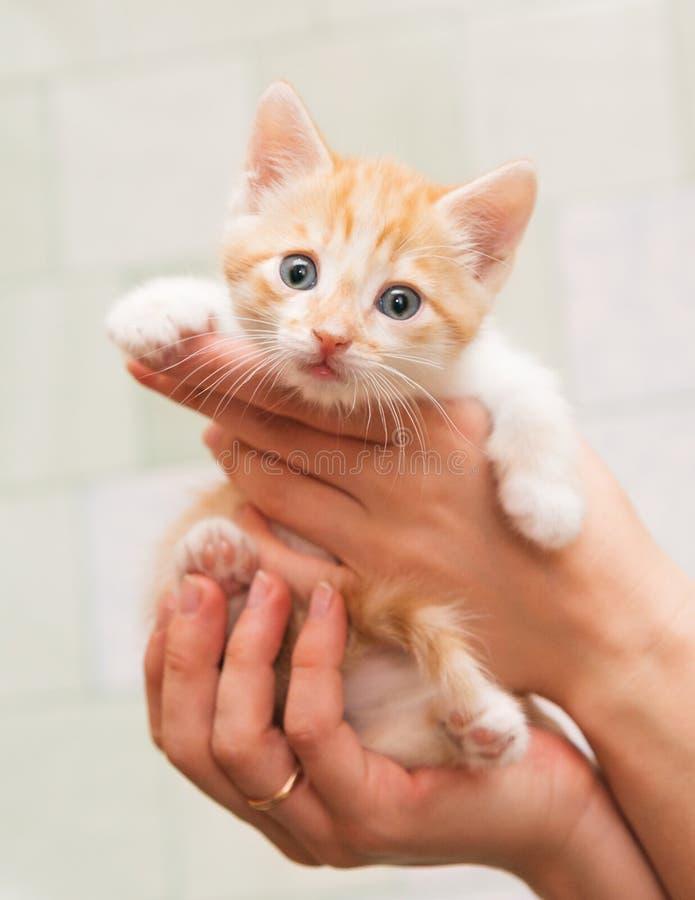 人的手小心地拿着一只小小猫 库存照片