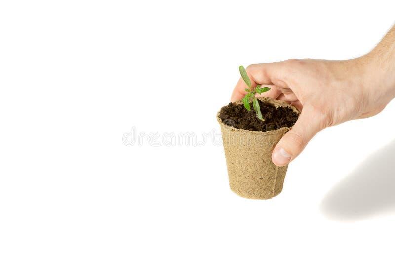 人的手种植蕃茄幼木到地面烘干 环境友好包装的概念 库存图片