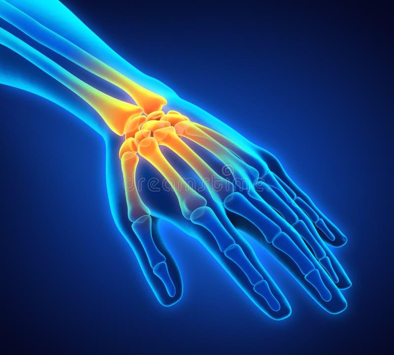人的手解剖学例证 向量例证