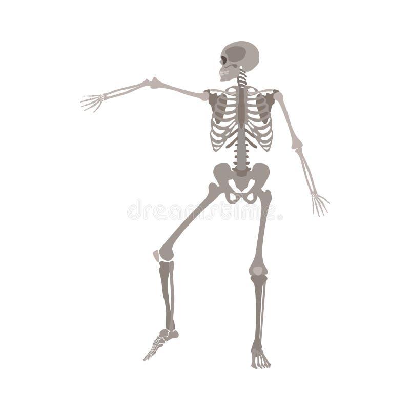 人的最基本的跳舞,与在动态行动举的肱骨的医疗身体解剖学模型 皇族释放例证