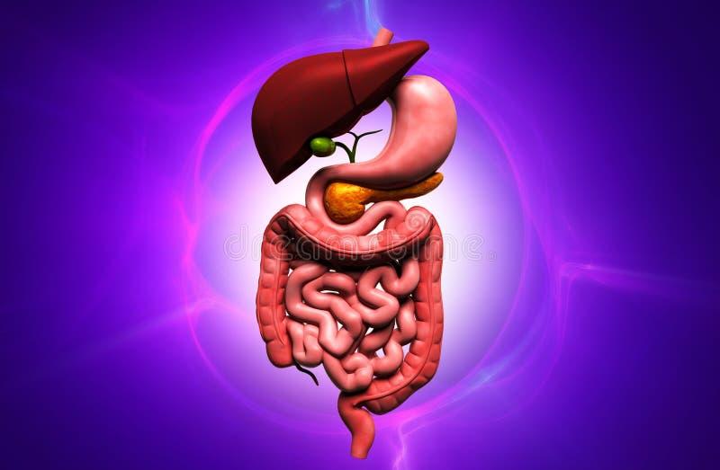 人的消化系统的数字式例证在颜色背景中图片