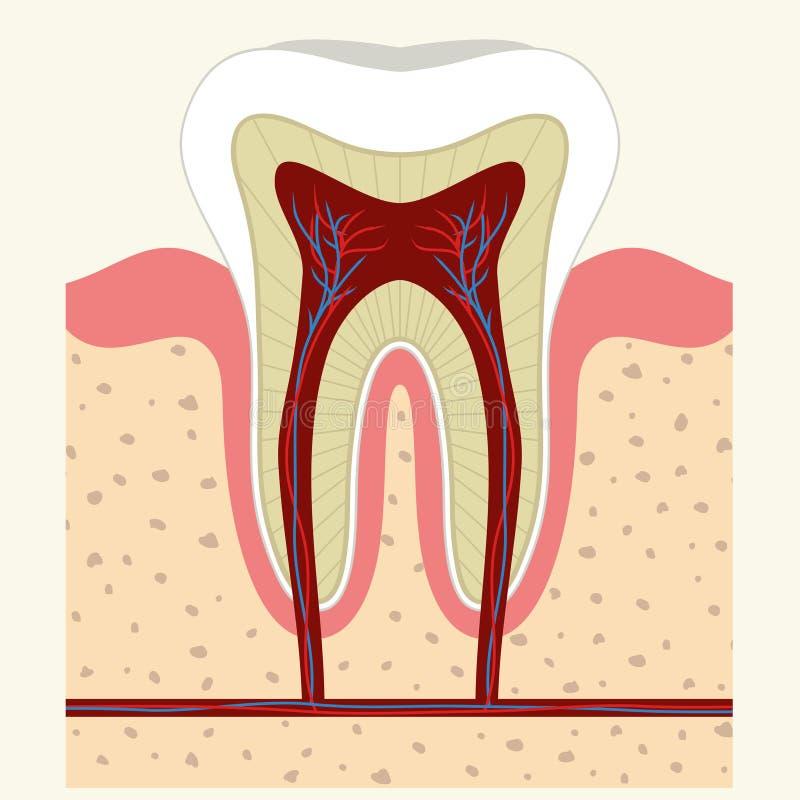 人的牙和胶解剖学 向量例证