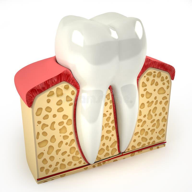人的牙横断面(3d模型) 向量例证