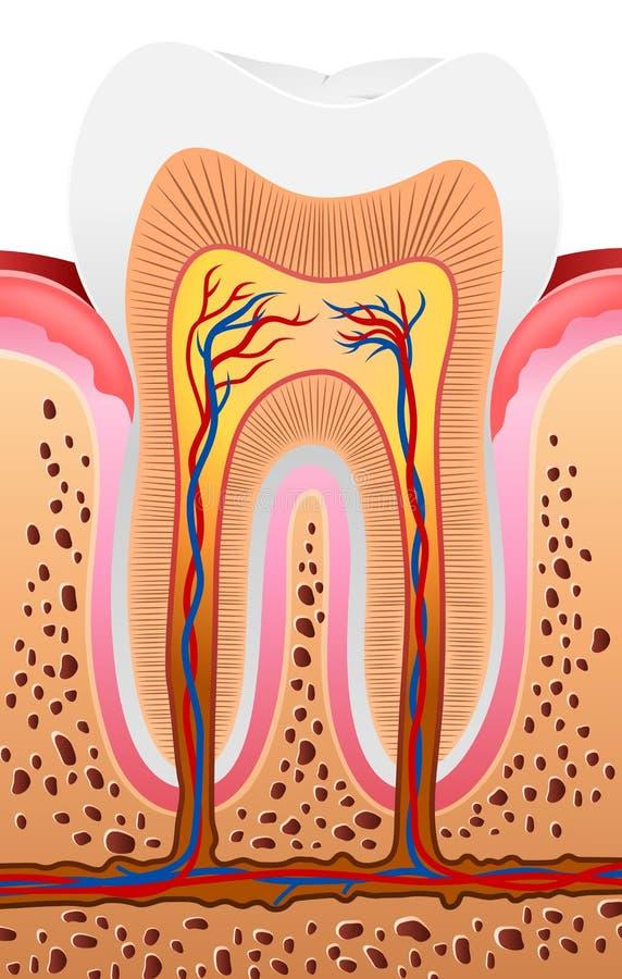 人的牙解剖学的动画片例证 皇族释放例证