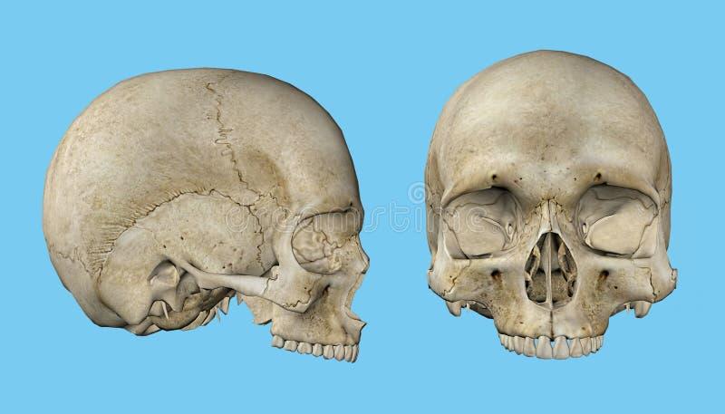 人的男性的头骨 库存例证
