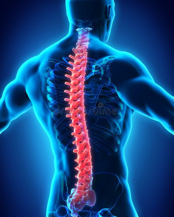 人的男性脊椎解剖学 库存例证