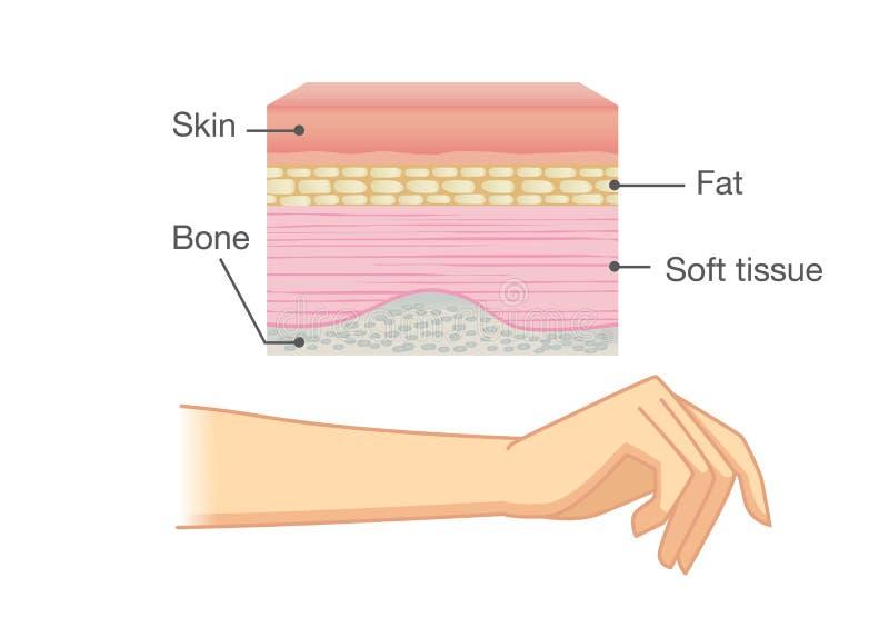 人的皮肤层和胳膊解剖学  皇族释放例证