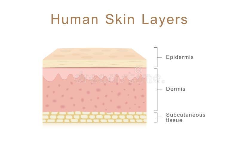 人的皮肤层数 皇族释放例证
