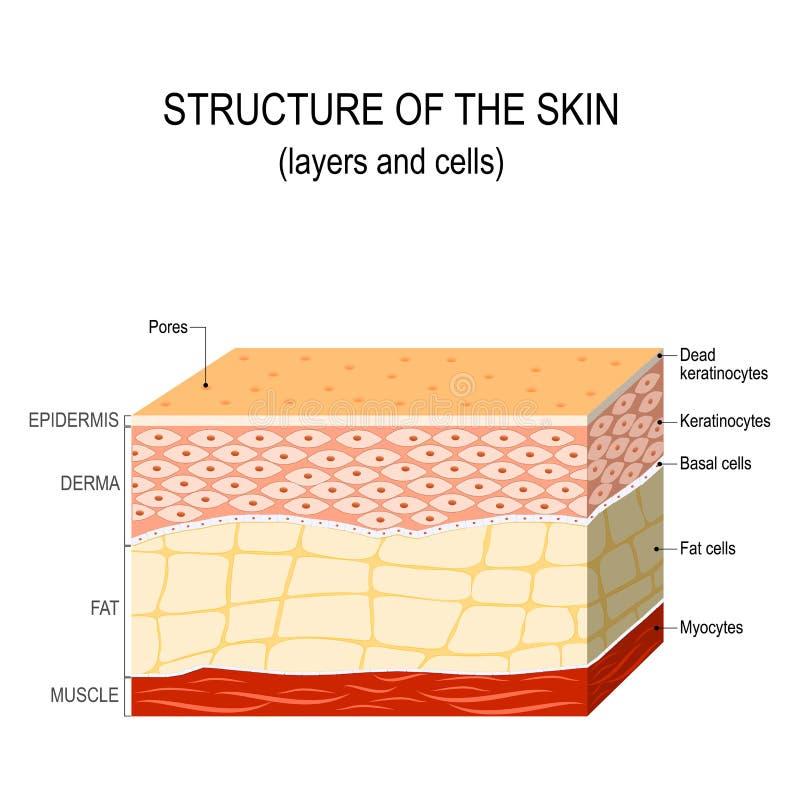 人的皮肤的结构 皇族释放例证