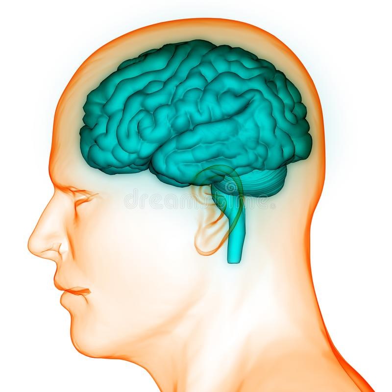 人的神经系统脑子解剖学的中央机构 库存例证